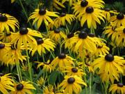 Iowa Flowers 007