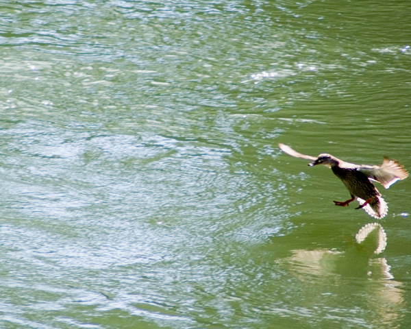 Duck in for landing on water