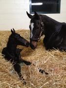 Zenyatta and  newborn colt March 10, 2012