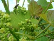 Insectos polinizadores de Jatropha curcas