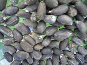 semilla silvestre de jatropha chiapas 2011 (29)
