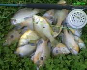 panfish mayhem