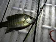 bluegill fly tying