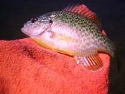 sarah fish
