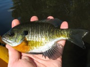 September Cypress Swamp Fishing