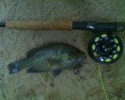 Green Sunfish1