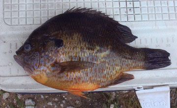 nc_pumpkinseed state record
