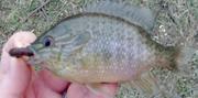 Longear Sunfish?