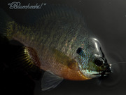 Blue Cheeked Bluegill.....