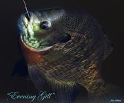 Evening Gill