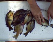 bluegill stringer