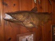 31 pound Flathead Catfish