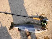 big steelhead trout