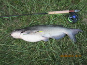 Catfish on a fly rod and a Rubberlegged Dragon