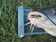 Catfish on a Rubberlegged Dragon