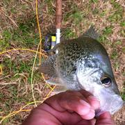 Good 'ole clear water Crappie; yes sah!