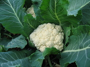 Cauliflower July 09