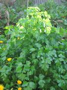 Italian parsley July 09