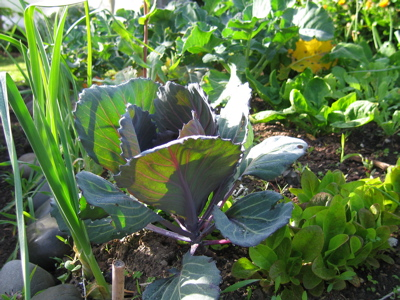 Red Cabbage & Lettuces