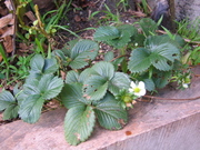 Spring Strawberries 30/8/09