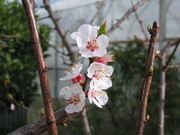 Apricot Blossom 30/8/09