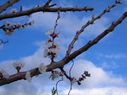 Apricot Blossom & Blue Sky