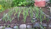 Garlic 30/8/09
