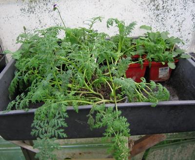 Phacelia seedlings 12/9/09