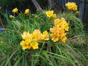 Freesias in the old bowl 12/9/09