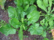 Spinach Giant 12/9/09