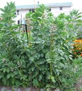 Tall Broad bean Plants 12/9/09
