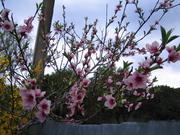 Peach Blossom 12/9/09