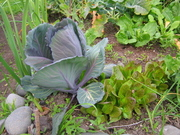 Regal Red cabbage,Leeks,Lettuce, Turnips & Broccoli