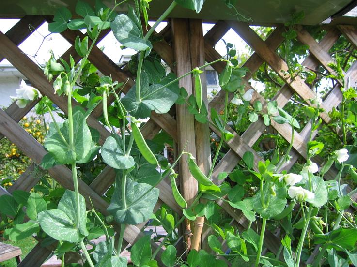 Peas Sugarsnap 6/10/09