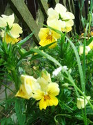 The pretty yellow pansies