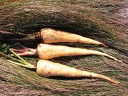 Hollow Crown Parsnip to be used for seed crop
