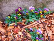 Edible Violets