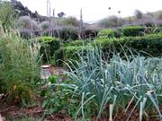 mexican tea herb, celeriac starts, garlic