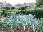 variety of garlic