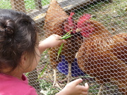 Bella feeding the hens