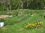 garlic beds 27 Nov 2011