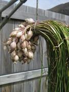 Garlic Bulbils Dec11