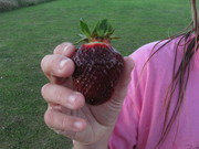 seed grown strawberry