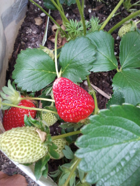 """Chandler"" are winning the strawberry trial!"