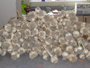 garlic crop 2012