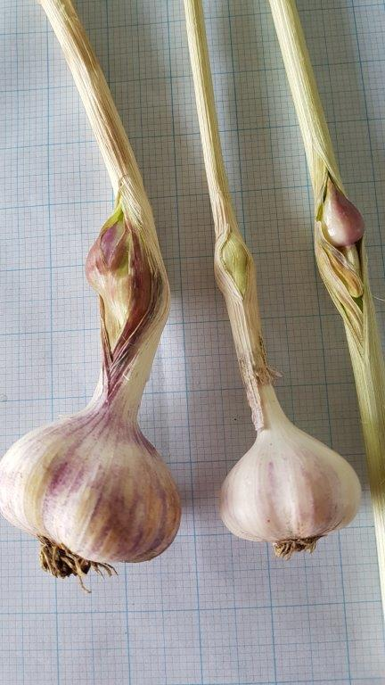 garlic harvested on 21 Jan 2017