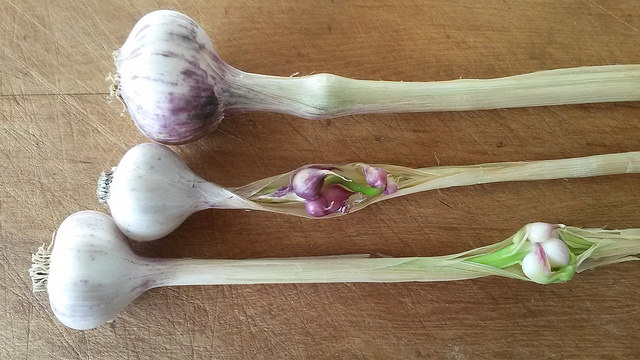 Garlic with neck bulbils