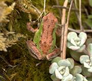 Duotone Treefrog