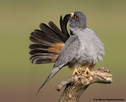 RED-FOOTED FALCON(MALE)