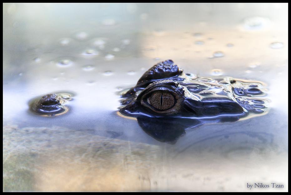 Aligator 1